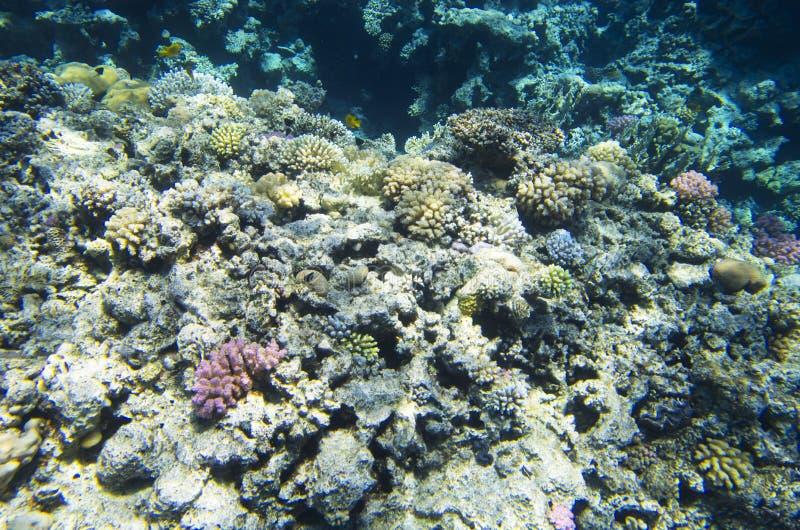 Coraux multicolores sur le fond de la mer photo libre de droits