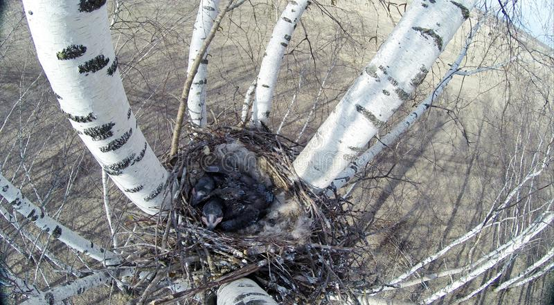 Corax común de Raven Corvus - jerarquía fotos de archivo