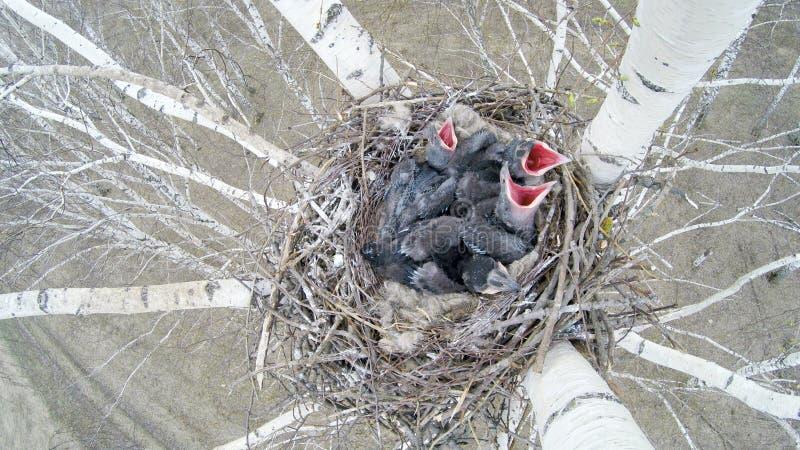 Corax común de Raven Corvus - jerarquía foto de archivo libre de regalías