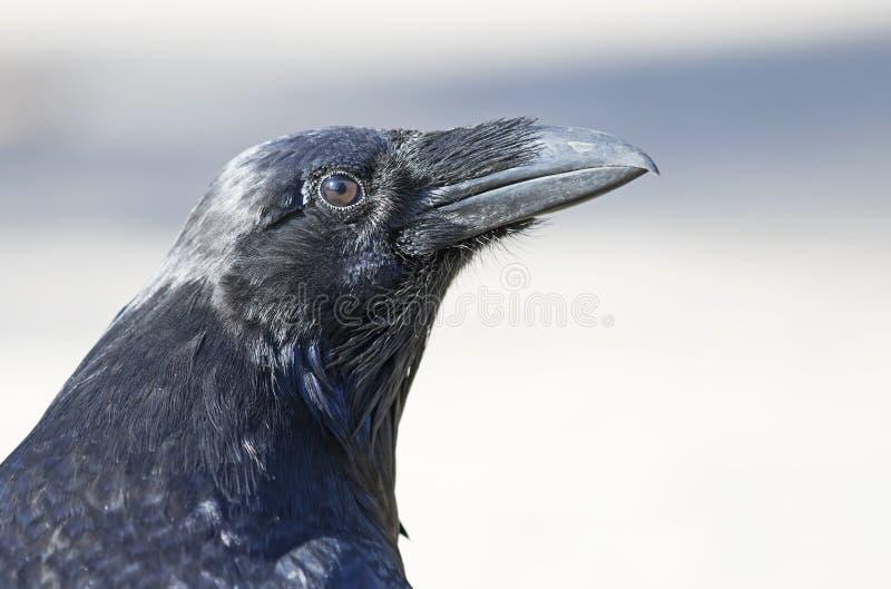 Corax común del Corvus del cuervo en el parque del Algonquin, Canadá foto de archivo
