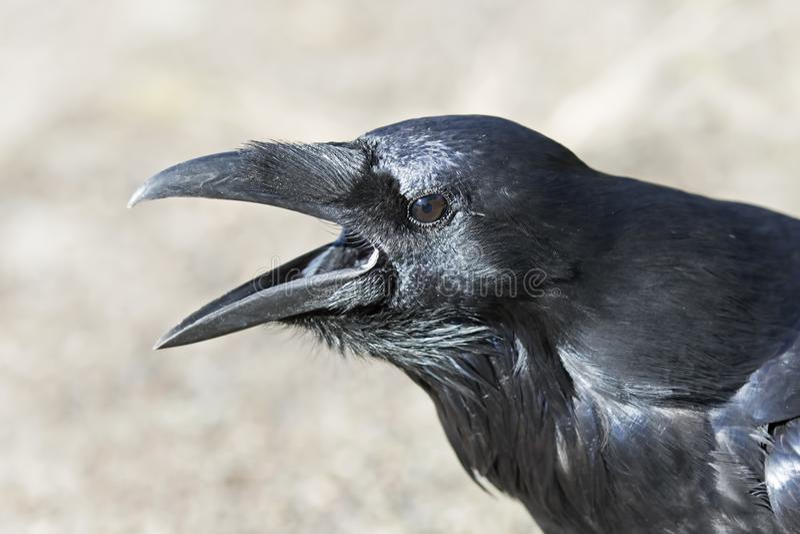 Corax común del Corvus del cuervo en el parque del Algonquin, Canadá fotos de archivo libres de regalías