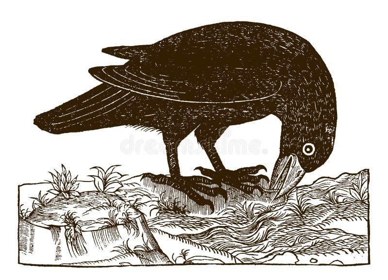 Corax comune di corvo del corvo che prende un verme illustrazione vettoriale