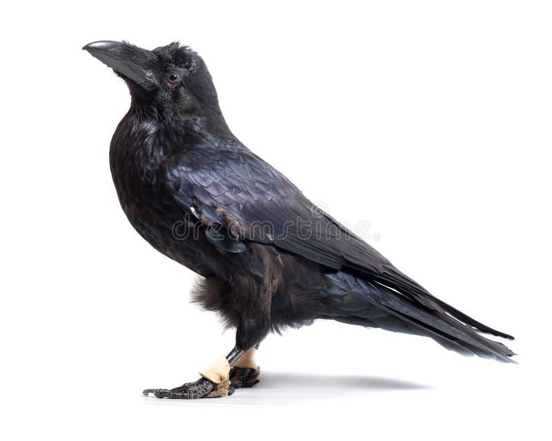 Corax del Corvus Cuervo común delante del fondo blanco fotografía de archivo libre de regalías