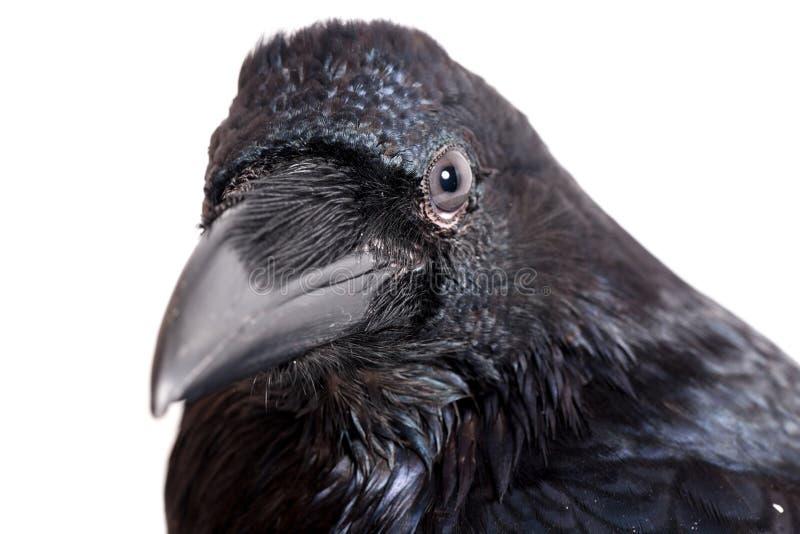 Corax del Corvus Cuervo común delante del fondo blanco imagen de archivo libre de regalías