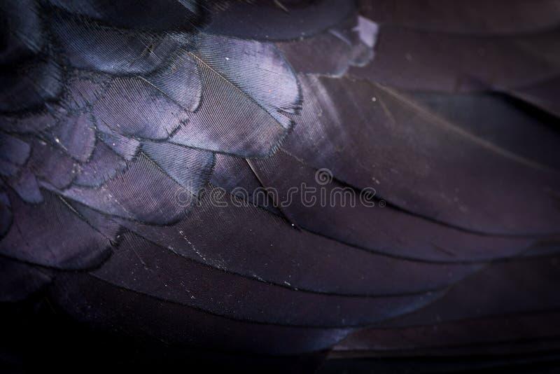 Corax del Corvus Cuervo común delante del fondo blanco imágenes de archivo libres de regalías