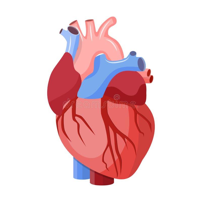Coraz n anat mico aislado ilustraci n del vector for Fotos del corazon