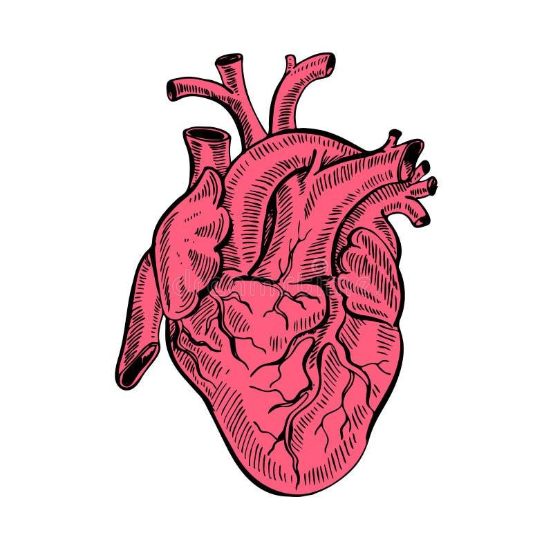 Corazón anatómico del bosquejo del dibujo de la mano Ejemplo del vector del estilo de la historieta foto de archivo libre de regalías