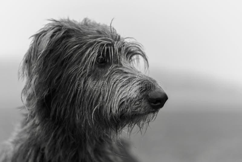 Corazón de ciervo escocés fotografía de archivo libre de regalías