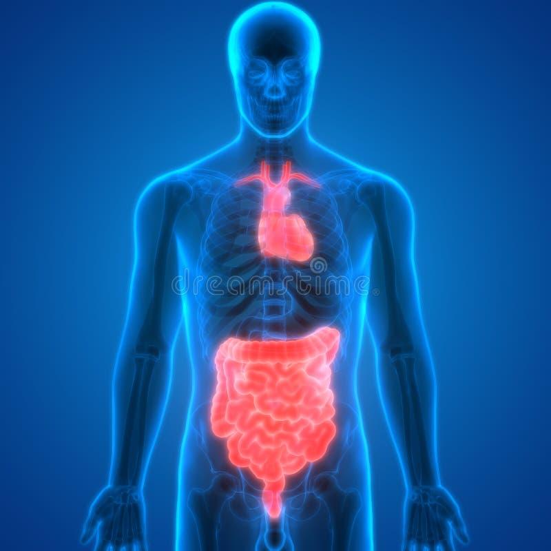 Corazón De La Anatomía De Los órganos Del Cuerpo Humano Con Grande Y ...