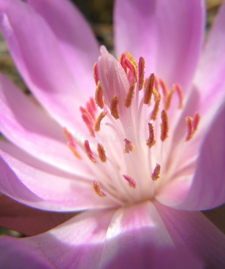 Corazón de la floración del Bitterroot fotografía de archivo libre de regalías