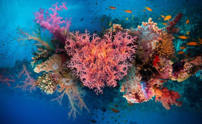 Corazón de la tarjeta del día de San Valentín hecho de los corales (hemprichi de Dendronephthya) imagen de archivo
