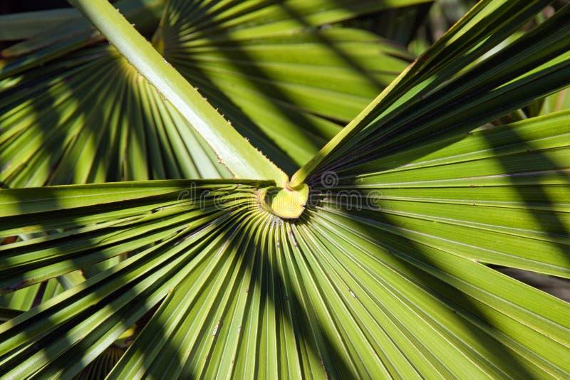 Corazón de palma entre sombra y materia Un día de verano fotografía de archivo