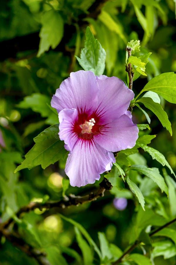 Corazón de una flor del hibisco imagen de archivo