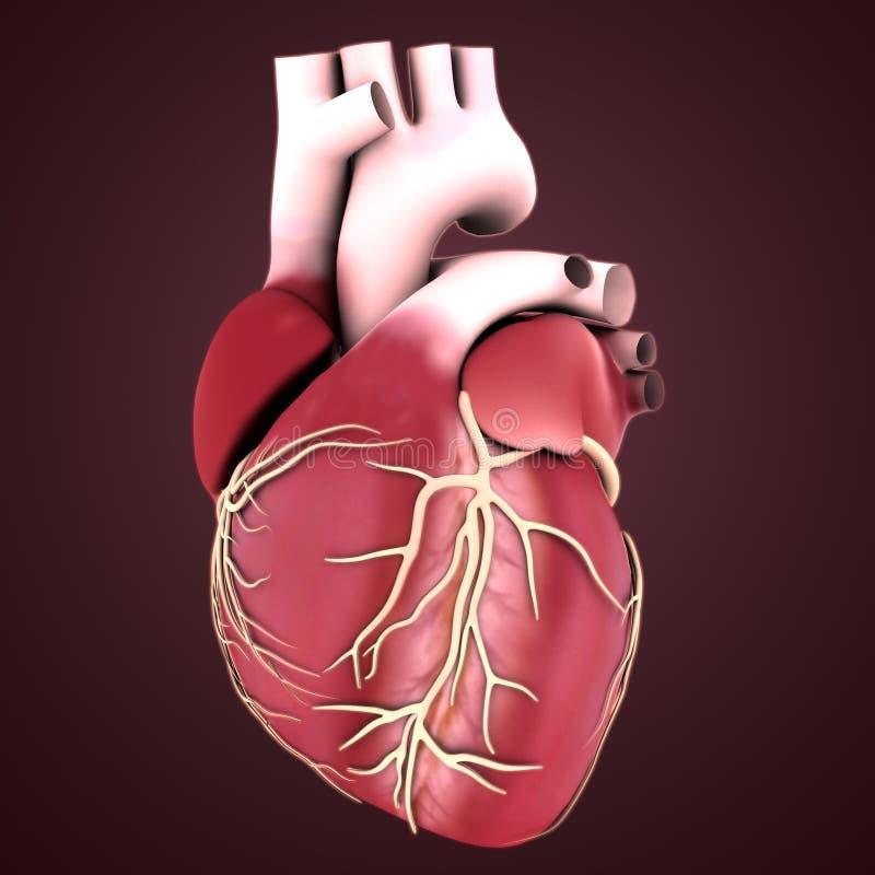 Corazón del órgano humano ilustración del vector