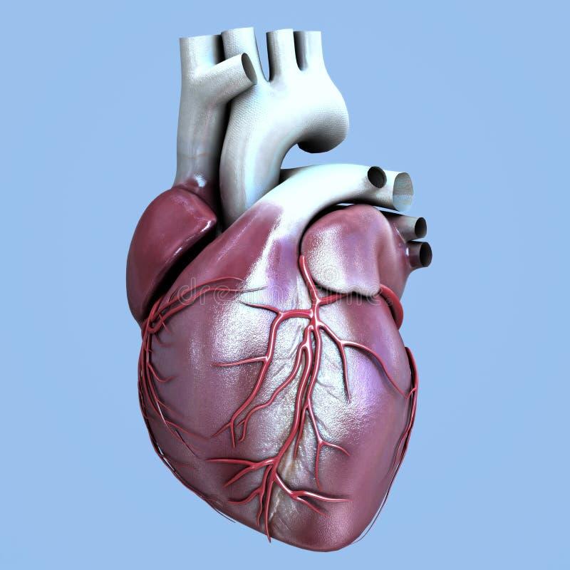 Corazón del órgano humano libre illustration