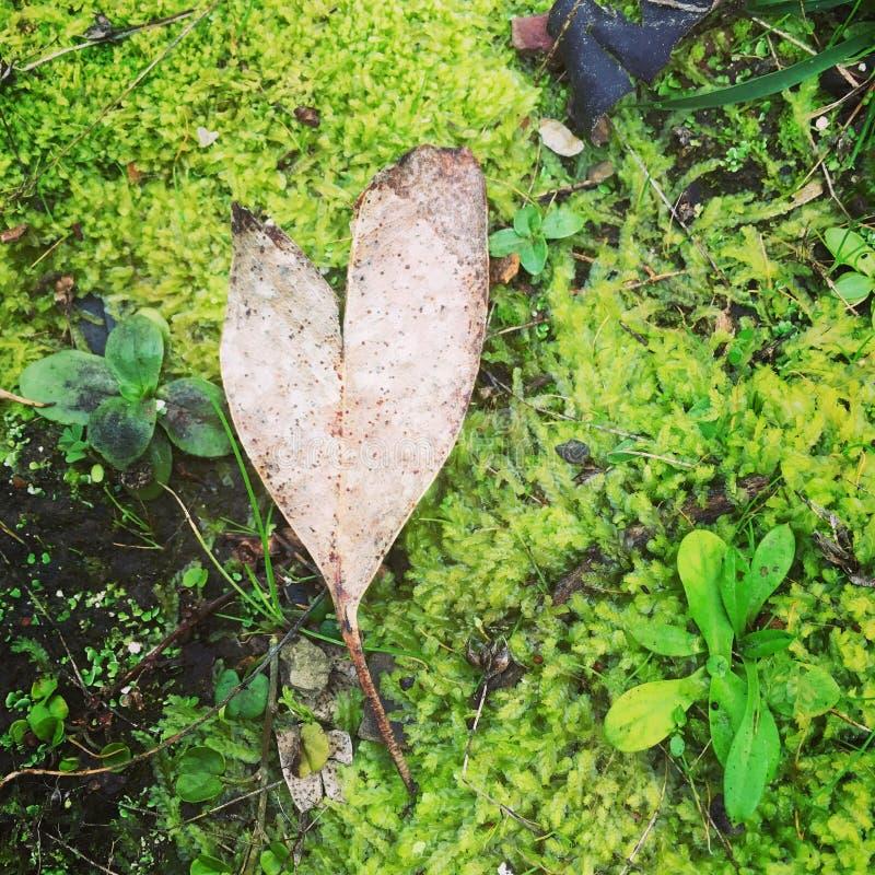 Corazón del amor de la hoja que pone en la cama del musgo foto de archivo