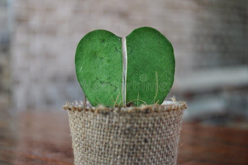 Corazón del cactus de Hoya fotografía de archivo