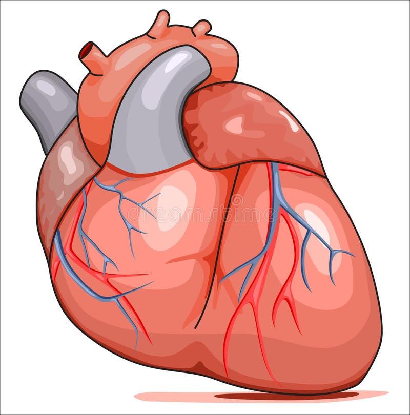 Corazón humano ilustración del vector. Ilustración de sangre - 14951333