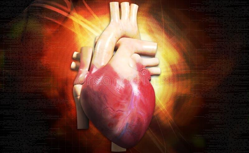 Corazón humano fotos de archivo