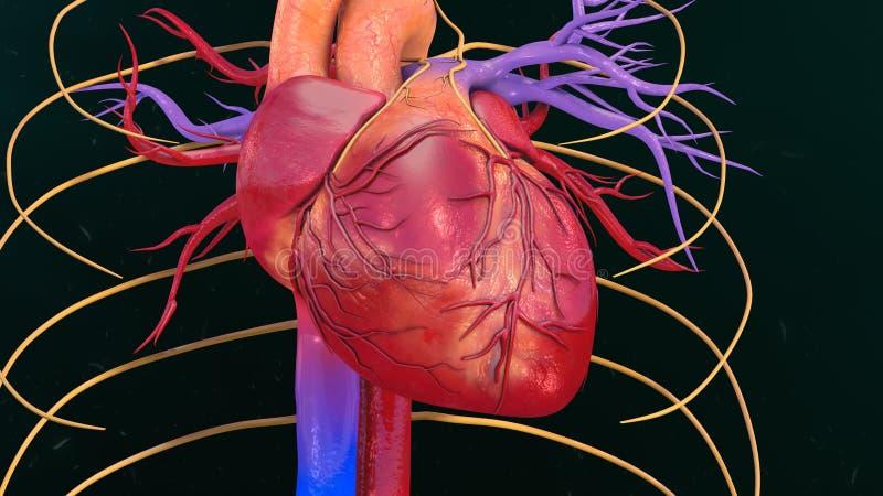 Corazón humano foto de archivo. Imagen de pericardio - 75367800