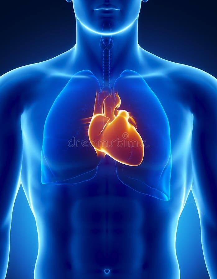 Corazón humano con el tórax stock de ilustración