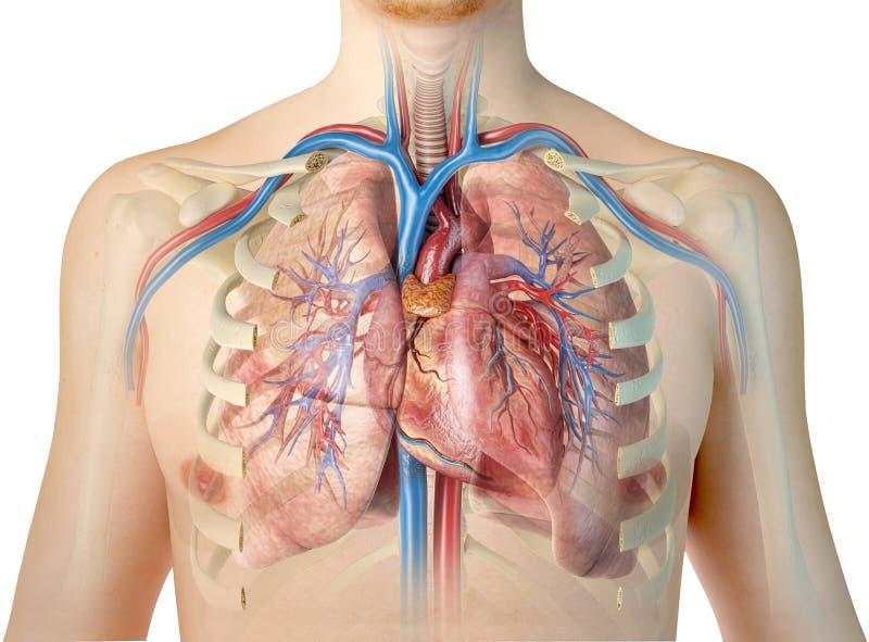 Corazón humano con los buques, los pulmones, el árbol bronquial y la caja torácica del corte libre illustration