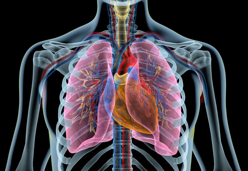 Corazón humano con los buques, los pulmones, el árbol bronquial y la caja torácica del corte Radiografía stock de ilustración