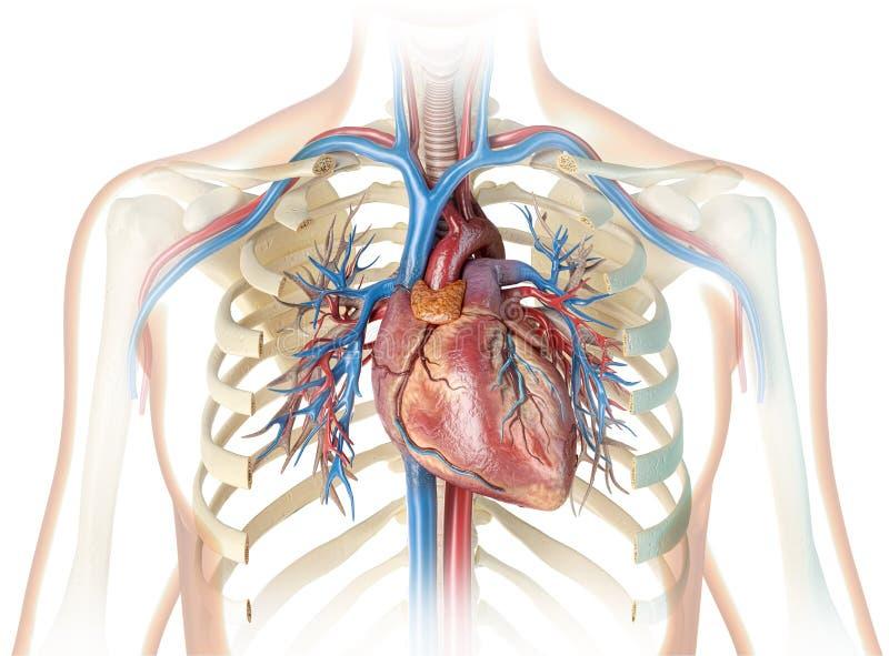 Corazón humano con los buques, ribcage y el árbol bronquial stock de ilustración