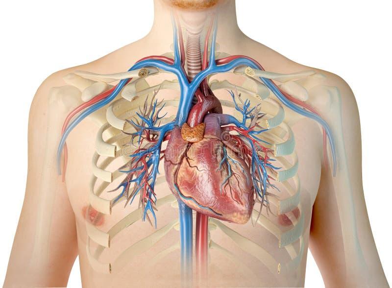 Corazón humano con los buques y el árbol bronquial Front View ilustración del vector