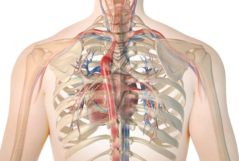 Corazón humano con los buques y el árbol bronquial Visión posterior libre illustration