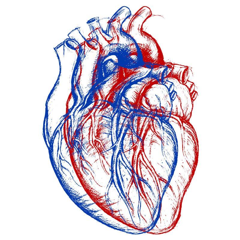 Corazón humano 3D ilustración del vector. Ilustración de dimensional ...