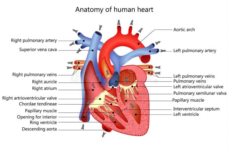 Corazón humano médico fotografía de archivo