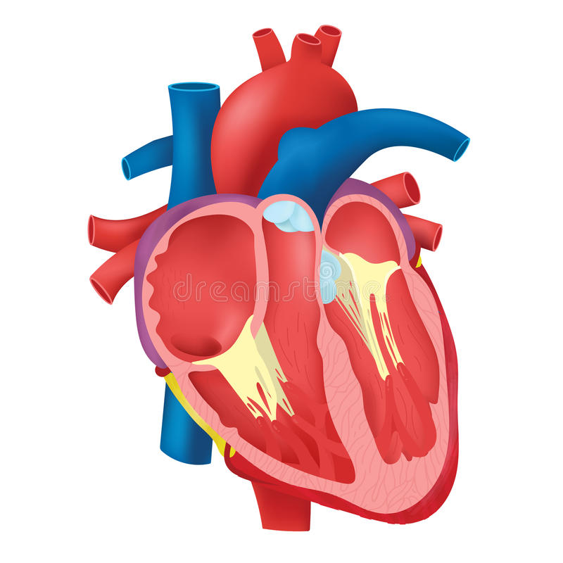 Corazón interno stock de ilustración