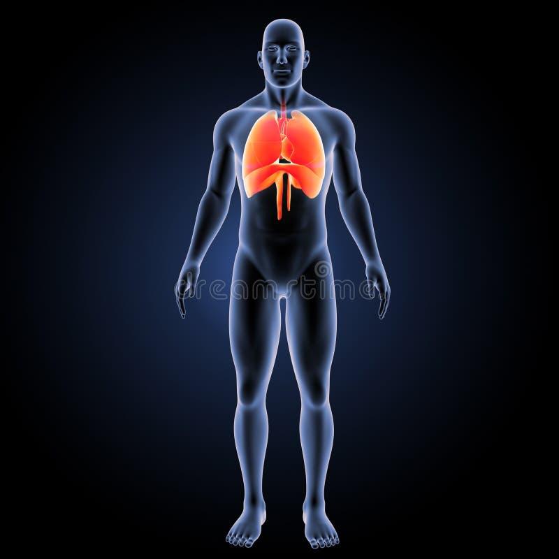 Corazón, pulmones y diafragma con la opinión anterior del cuerpo ilustración del vector
