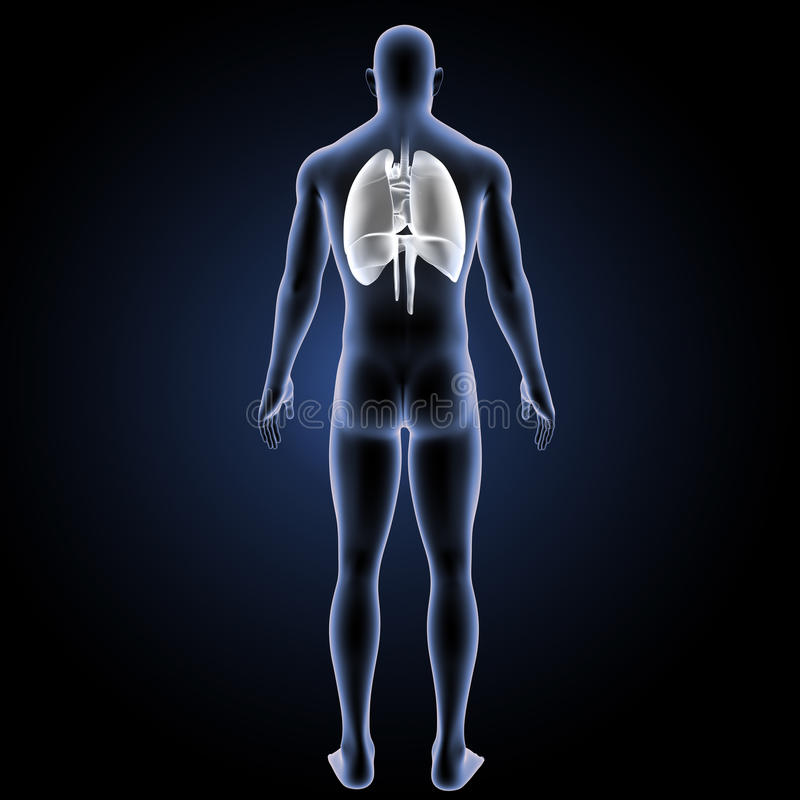 Corazón, pulmones y diafragma con la opinión del trasero del cuerpo ilustración del vector