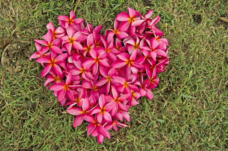 Corazón rojo de la flor del plumeria en hierba verde imagen de archivo libre de regalías