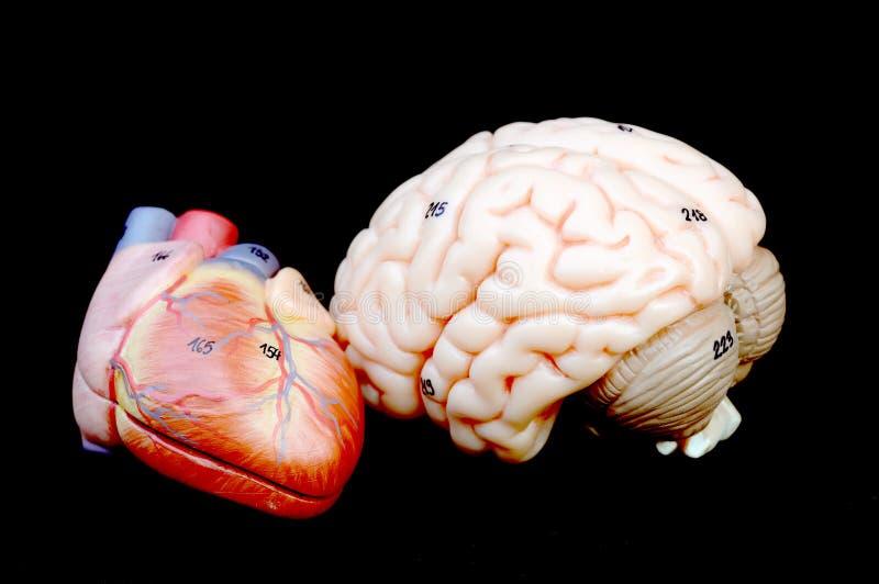 Corazón y cerebro imagen de archivo libre de regalías