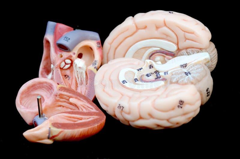 Corazón y cerebro fotografía de archivo