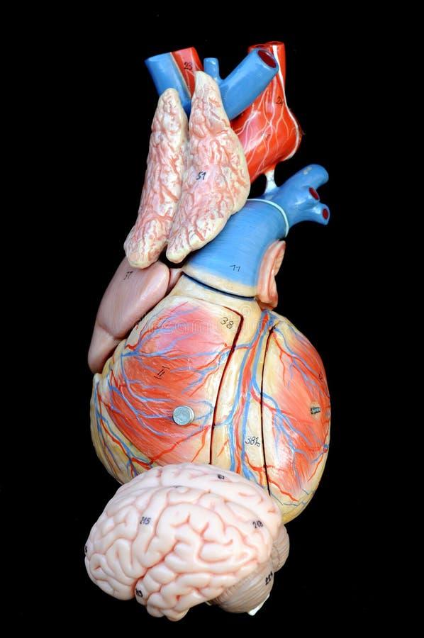 Corazón y cerebro fotografía de archivo libre de regalías