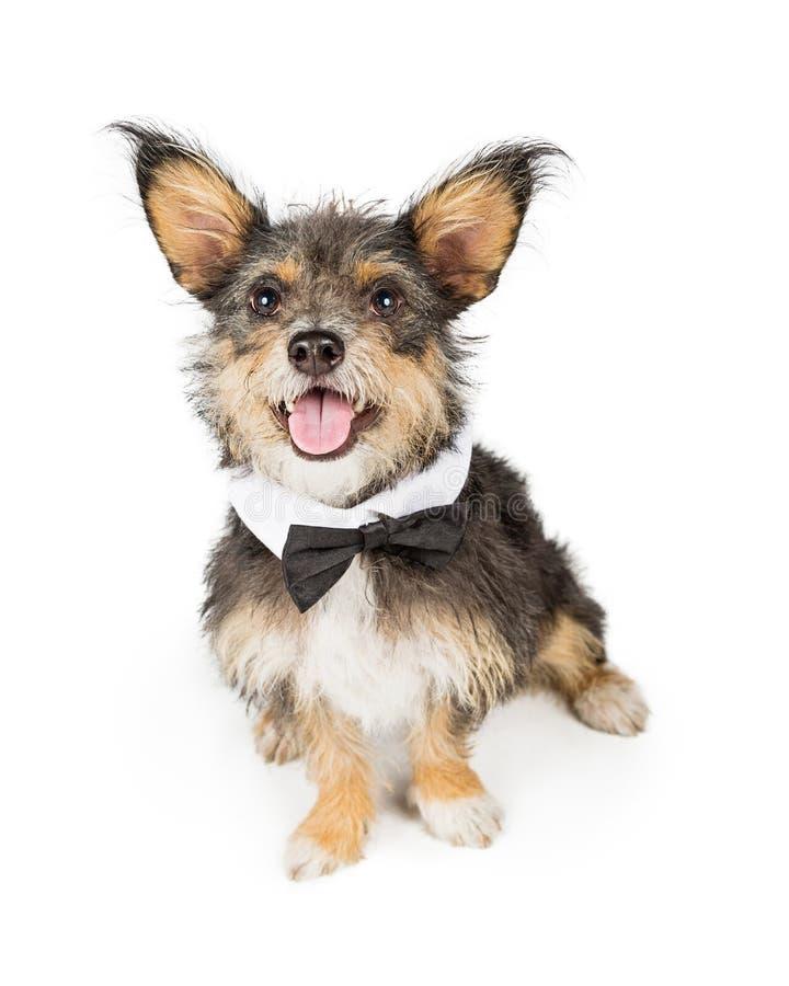 Corbata de lazo que lleva del pequeño perro lindo foto de archivo