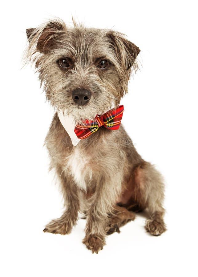 Corbata de lazo que lleva desaliñada linda de Terrier fotografía de archivo