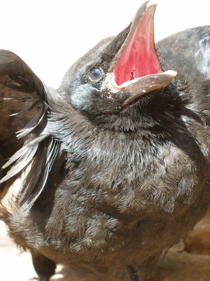 Corbeau noir photos stock