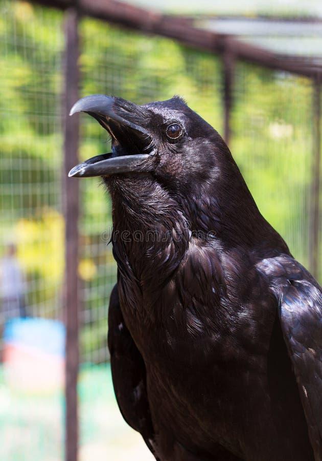 Corbeau noir photographie stock