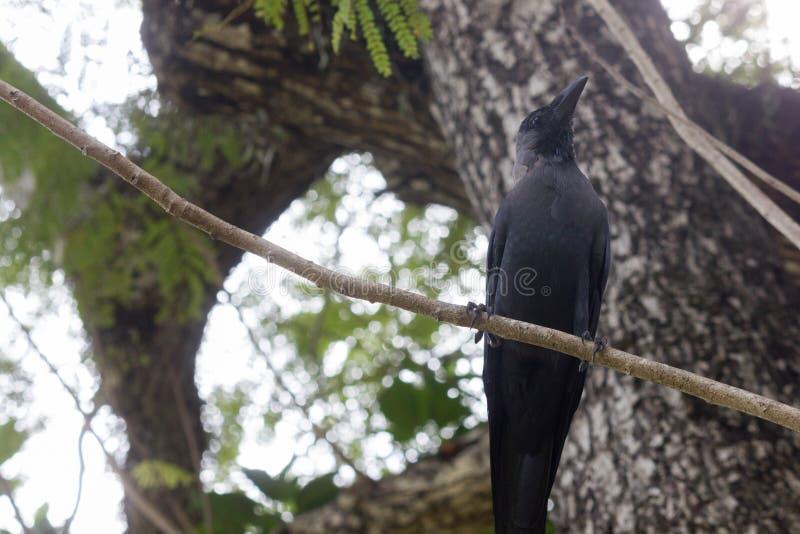 Corbeau noir d'oiseau sur la branche d'arbre photo libre de droits