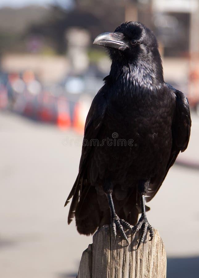 Corbeau ou corneille noir photographie stock libre de droits