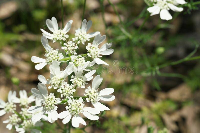 Cordón grandiflora o blanco de Orlaya del cordón de la flor o de Minoan o perejil francés del prado en un jardín foto de archivo libre de regalías
