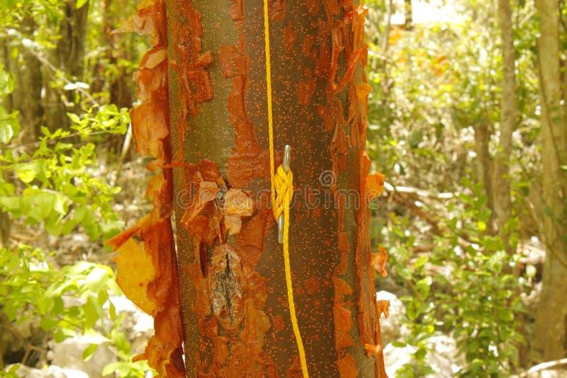 Corda assicurata al morsetto sull'albero di betulla rossa immagine stock libera da diritti