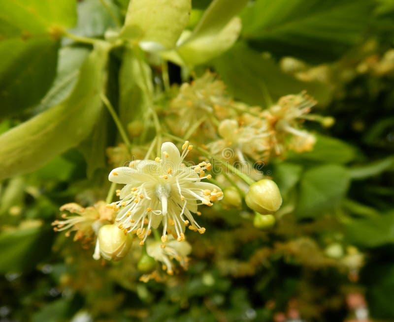 Cordata del Tilia, primer pequeño-con hojas de la floración de linde fotos de archivo