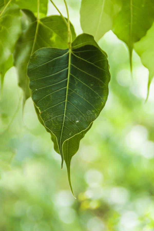 Cordate kształt Świętej figi liście zdjęcie stock