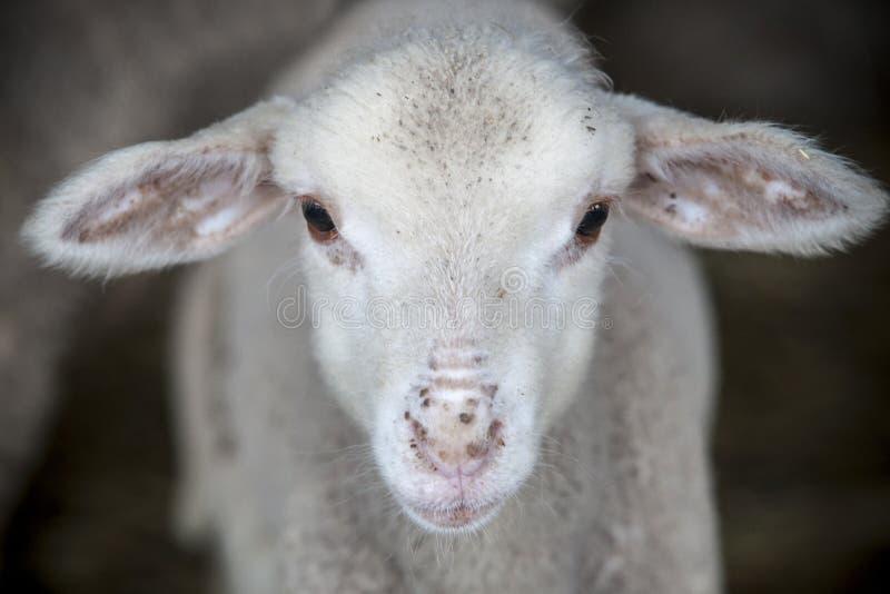 Cordeiro da raça pura dos carneiros do merina no celeiro foto de stock